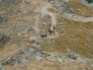 Naturbahnrodeln, Rodeln, am Aufstieg zur Domhütte queren Steinböcke unseren Weg
