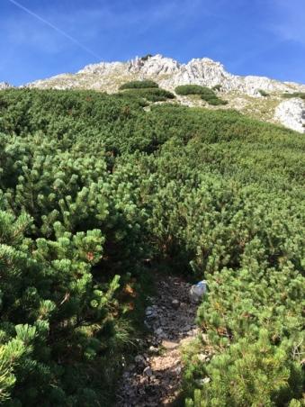 dichte Latschenfelder säumen unseren Weg auf den Schneeberg.
